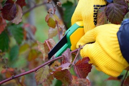 secateur: Hands with gloves of gardener doing maintenance work, pruning bushes in autumn
