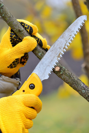 bush trimming: Hands with gloves of gardener doing maintenance work, pruning trees in autumn