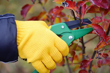 メンテナンスを行う庭師の手袋をはめて手仕事、秋の剪定 写真素材