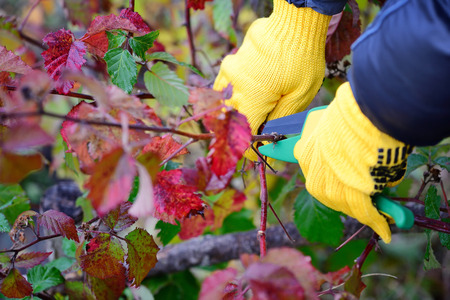 Hands with gloves of gardener doing maintenance work, pruning bushes in autumn