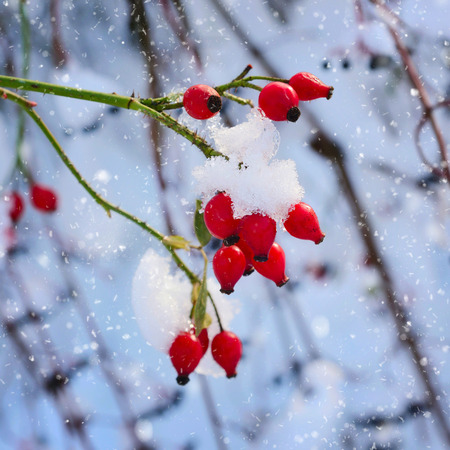 snowy field: Red rosehip berries with snow