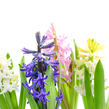 Group multicolored hyacinths with drops of water on a white background Stock Photo