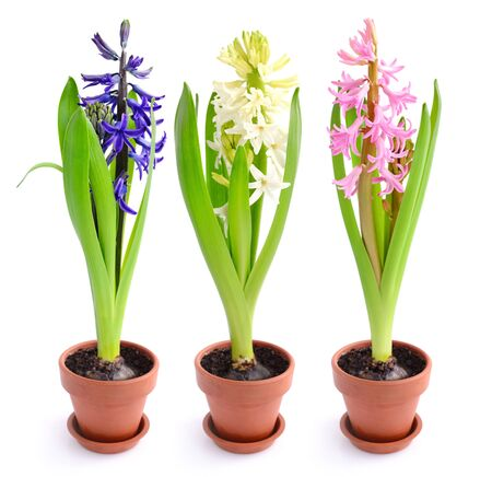 Vibrant multicolored hyacinth spring flowers isolated on white background Stock Photo
