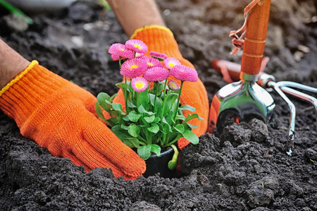 marguerite: Gardeners hands planting marguerite flowers in garden