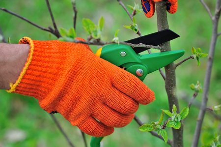 bush trimming: Hands with gloves of gardener doing maintenance work, pruning the tree Stock Photo