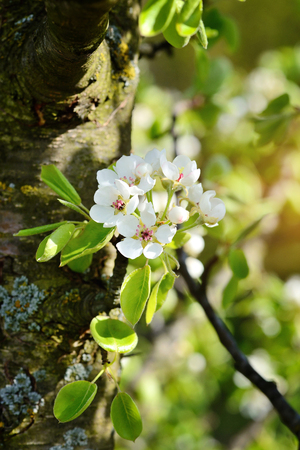 Flowers bloom on a branch of pear in sunlight Stock Photo