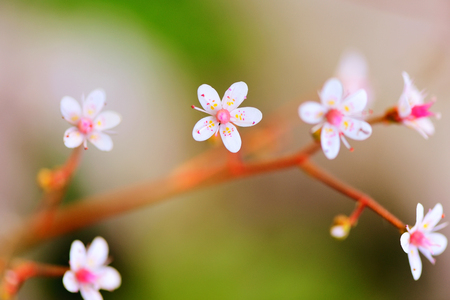 plants species: Fiori Saxifraga closeup su sfondo naturale Archivio Fotografico