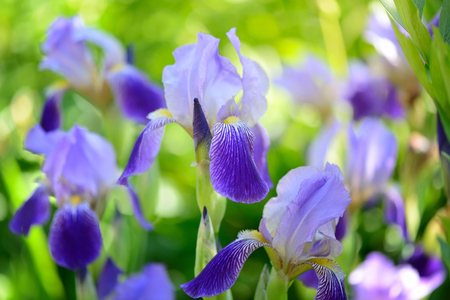 Blue Iris (Iris L.) in the green grass