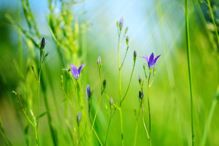 Campanula flowers (Campanula patula) in green grass. Selective focus, blurred background. Stock Photo