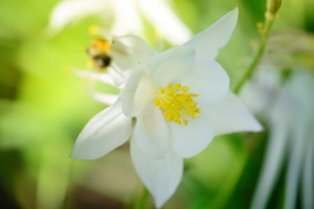 White Columbine Flower (Aquilegia) in sunlight Stock Photo