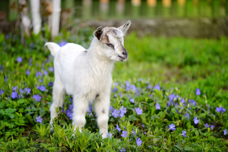 White baby goat standing on green lawn with flowers periwinkle (Vinca major) Banque d'images