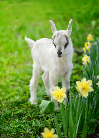 babies: White baby goat standing on green lawn with flowers narcissus Stock Photo