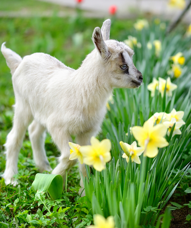baby goat: White baby goat standing on green lawn with flowers narcissus Stock Photo
