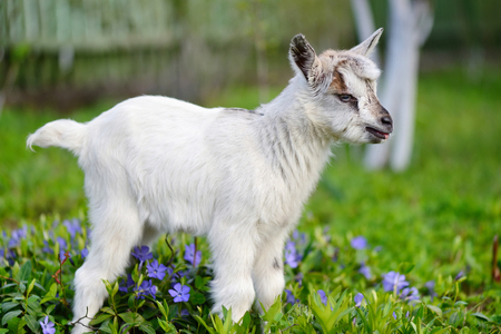 babies: White baby goat standing on green lawn with flowers periwinkle (Vinca major) Stock Photo