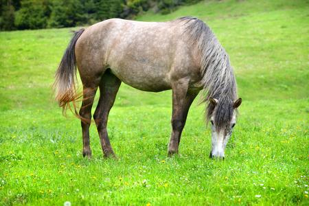 Grey horse grazing in summer pasture Imagens