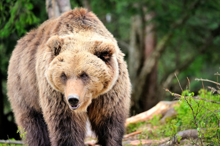 European brown bear in a forest landscape at summer. Big brown bear in forest. Stock Photo