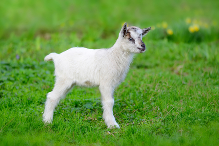 baby goat: White baby goat standing on green lawn Stock Photo