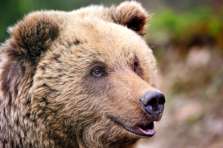Brown bear portrait. Big brown bear in forest.