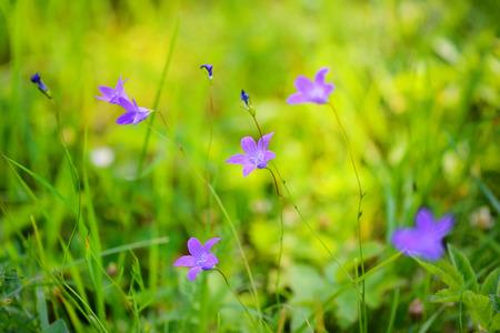 Campanula flowers (Campanula patula) in green grass. Selective focus Stock Photo