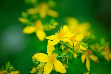 Hypericum flowers (Hypericum perforatum or St Johns wort) on the meadow, selective focus Stock Photo