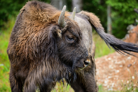 background: European Bison in the forest. Wisent. Bison bonasus