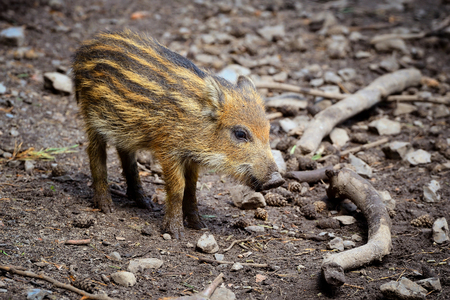 wild boar baby is looking around