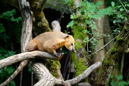 South American coati (Nasua) on tree branch Stock Photo