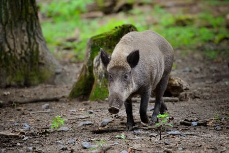 Wild boar piglet - young wild boar runs by the wood Stock Photo