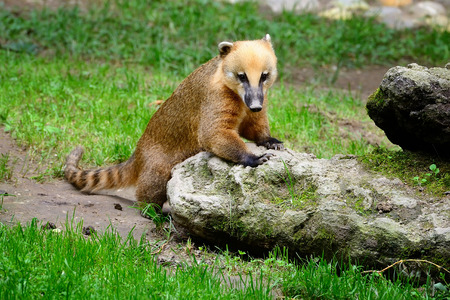 Cute coati (Nasua), wild animal looking like raccoon
