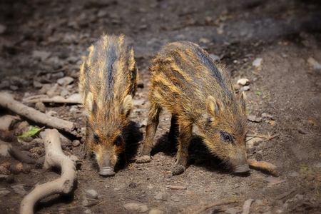 Baby wild boars playing in the mud Stock Photo