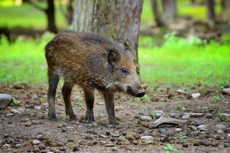 Young wild boar in the forest. Selective focus Stock Photo