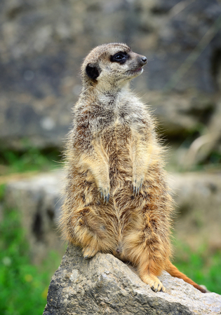 Meerkat family member (Suricata suricatta) on guard