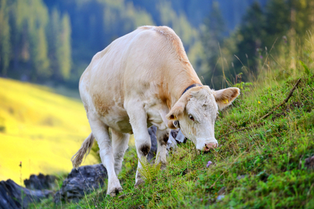 Cow grazing on a mountain pasture. Summer sunny morning