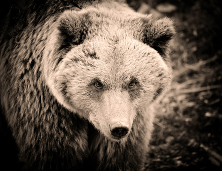 Brown bear portrait. Big brown bear in forest. Art photo in sepia.