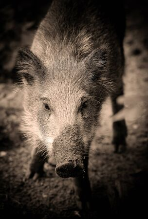 Young wild boar in the forest, portrait. Selective focus. Art photo in sepia. Stock Photo