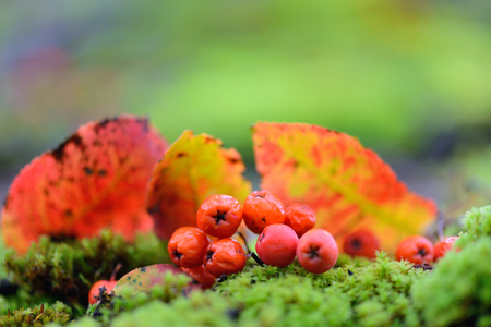 Rowan berries with autumn leaves on green moss. Autumn background