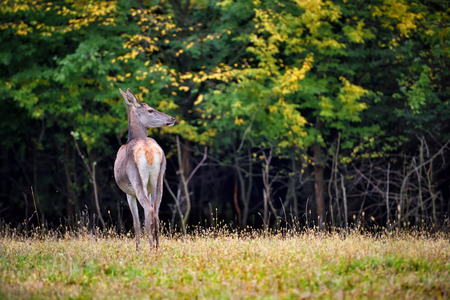 Female Red deer standing in autumn forest. Wild animals in natural habitat Stock Photo