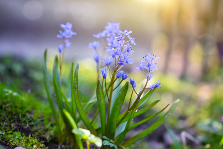 Spring flowers in a forest. Scilla Bifolia. Stock Photo
