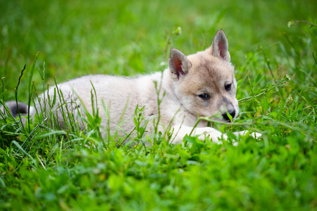 Portrait of cute Siberian Laika lying down on the grass