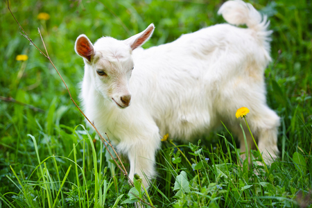 White little goat standing on green grass with yellow dandelions  Stock Photo