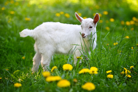 White little goat standing on green grass with yellow dandelions on a sunny day Zdjęcie Seryjne
