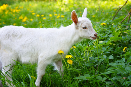 White little goat standing on green grass with yellow dandelions on a sunny day Stock Photo
