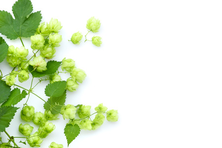 Fresh green hop branch (Humulus), isolated on white background Stock fotó