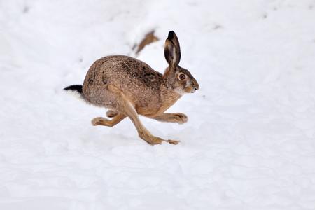 Der Feldhase (Lepus europaeus) läuft auf dem schneebedeckten Feld Standard-Bild