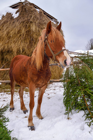 Horse standing near a hay in a snowy winter day 版權商用圖片