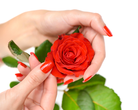 Hands of a woman with red manicure with scarlet rose on white background Archivio Fotografico