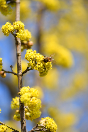 Flowering dogwoods (Cornus mas) pollinated by bees in the spring against the clear blue sky