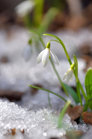Snowdrops (Galanthus) in the spring forest. Harbingers of warming symbolize the arrival of spring. 版權商用圖片
