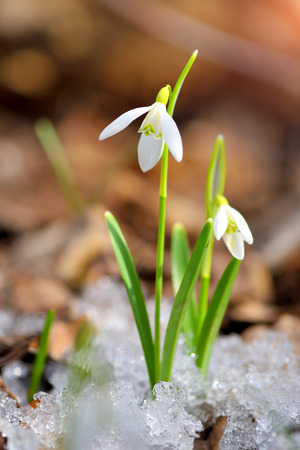 Snowdrops (Galanthus) in the spring forest. Harbingers of warming symbolize the arrival of spring. Stockfoto