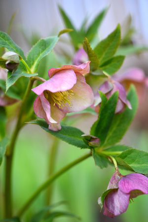 Beautiful pink Helleborus, spring flowers are blooming in the garden